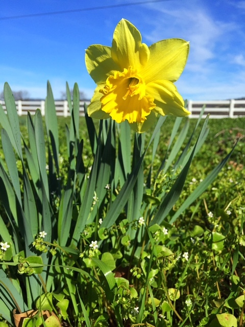 Daffodils 2016