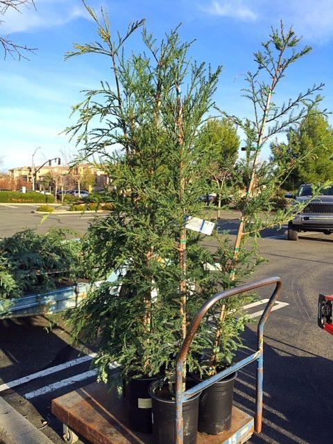 Medium Sized Redwoods