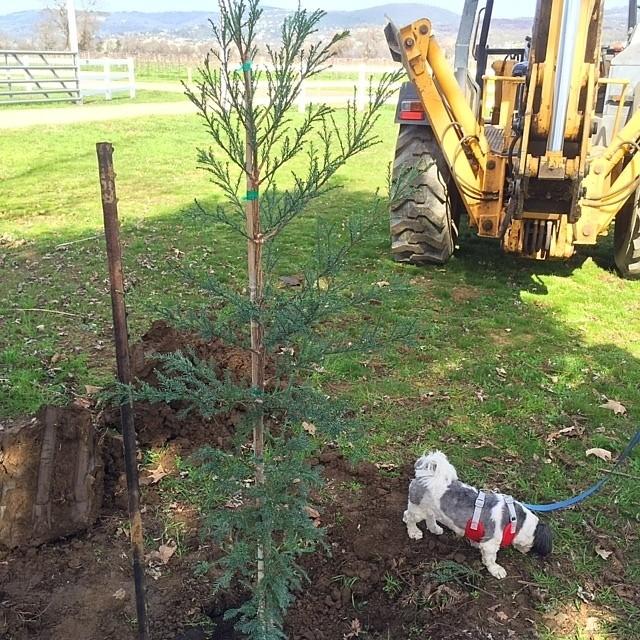 New Aptos Blue Redwood Tree