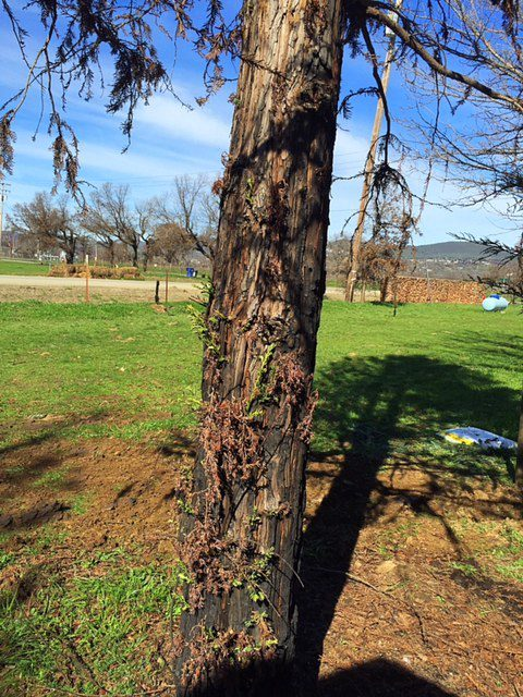 New Growth on Burned Redwood Tree