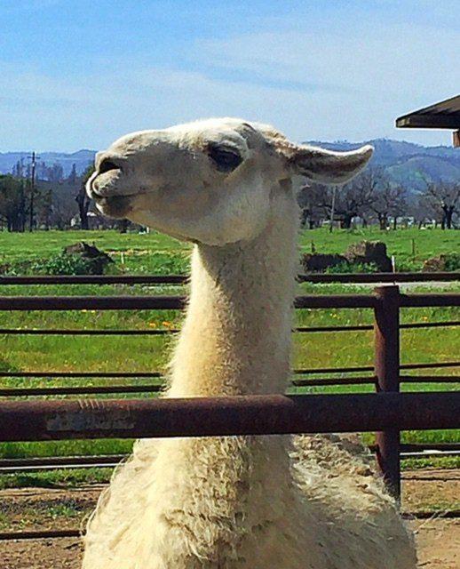 Llola the Llama