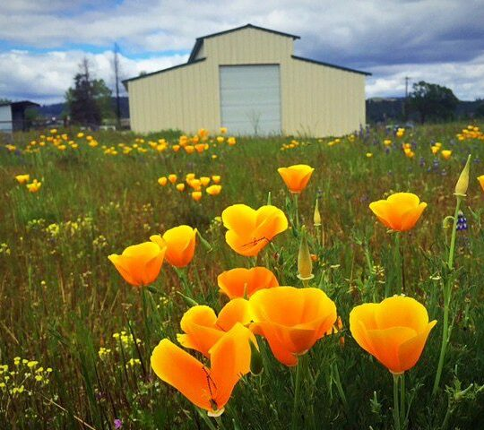 Rebuilding Barn After Valley Fire - Barn with Wild Poppies